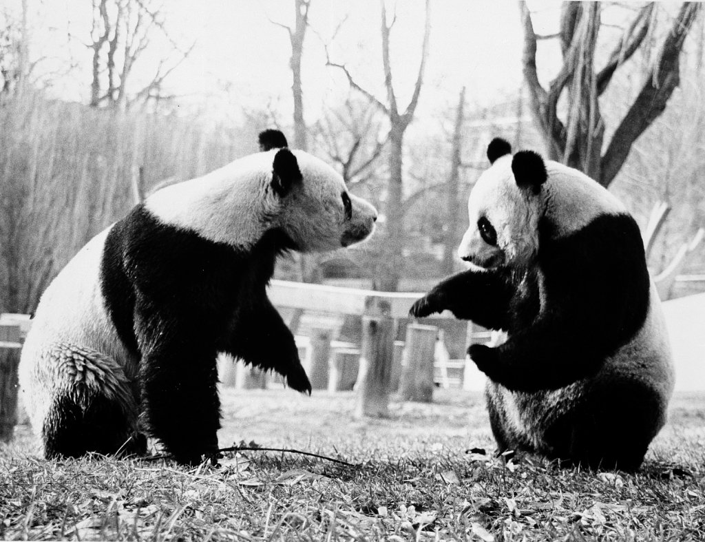 A Primer on the Zoo's Possibly Pregnant Giant Panda