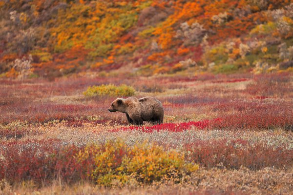 This was photographed in Denali National Park. the climate change has affected the vegetation and produce. Food in Denali has been scarce for consecutive years now.