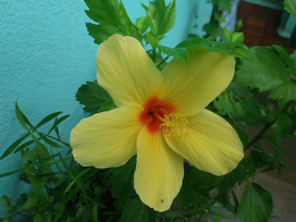 Beauty of the yellow Hibiscus flower thumbnail