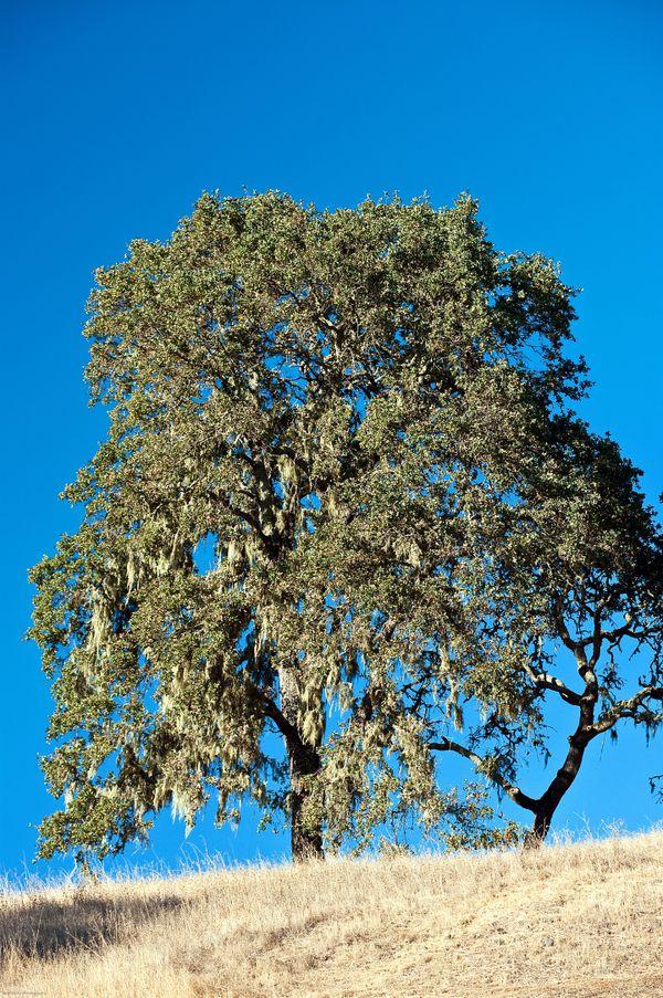 Oak tree on hill in Sonoma, California. thumbnail