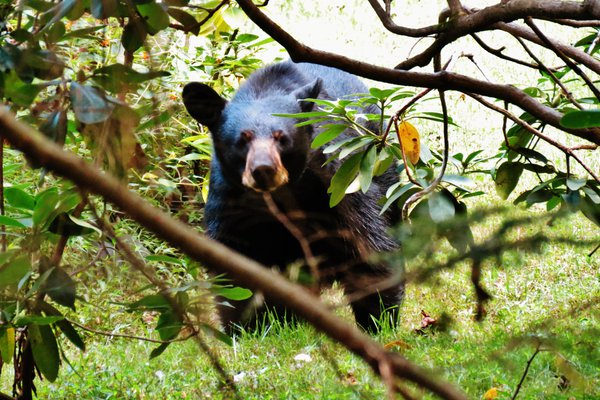Black Bear Stare Through Rhododendrons thumbnail