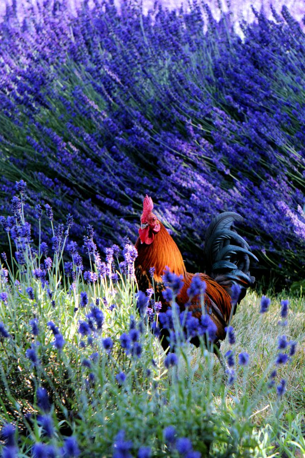 A rooster at a lavender farm thumbnail