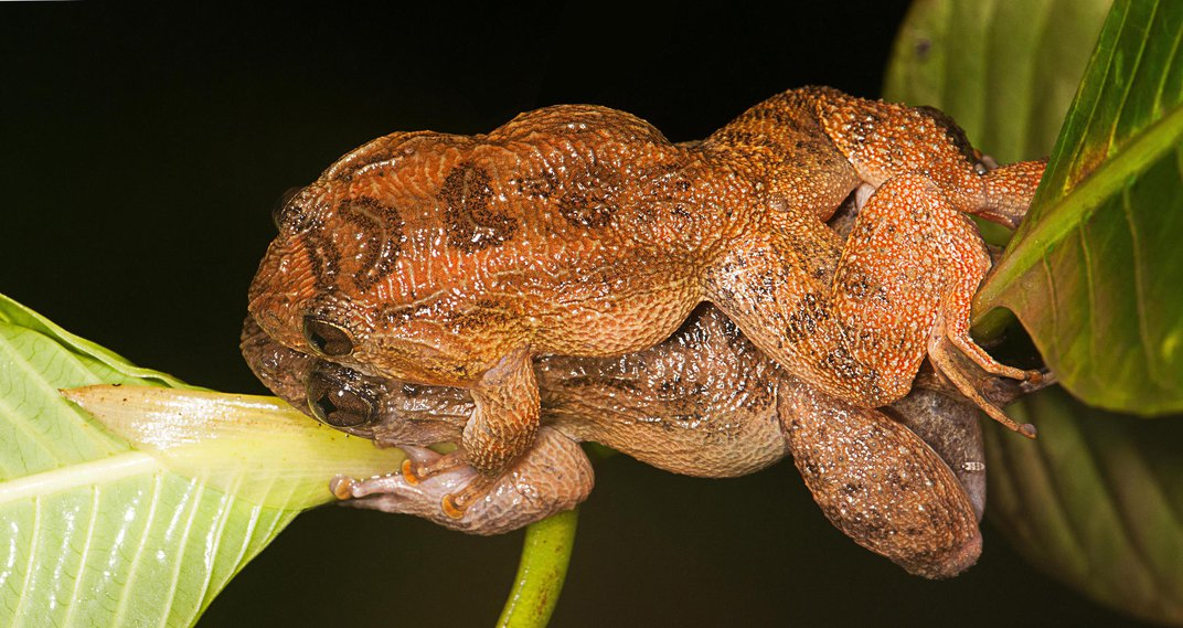 The Frog Kamasutra Gains a Chapter, Thanks to Camera-Wielding Biologists