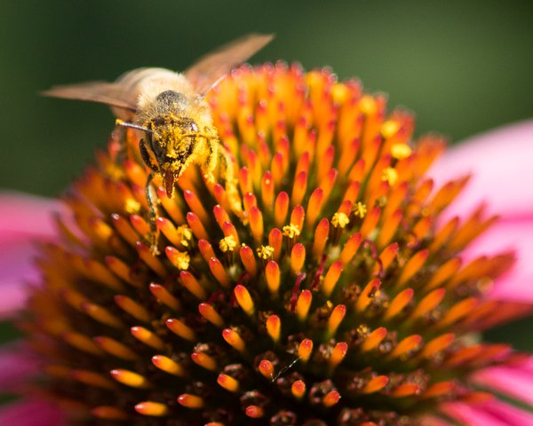 Bee on purple coneflower sticking out tongue for the camera. thumbnail