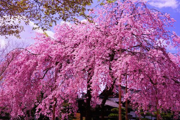 Spring in Full Bloom thumbnail