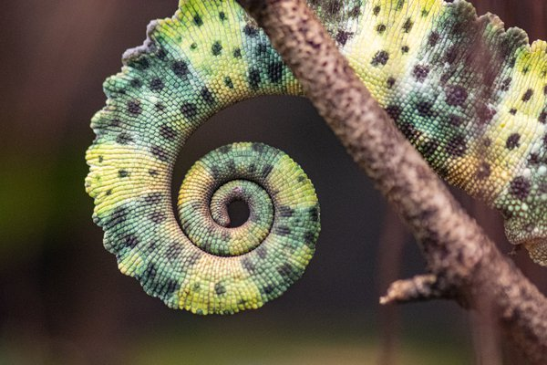 Curly chameleon tail. thumbnail