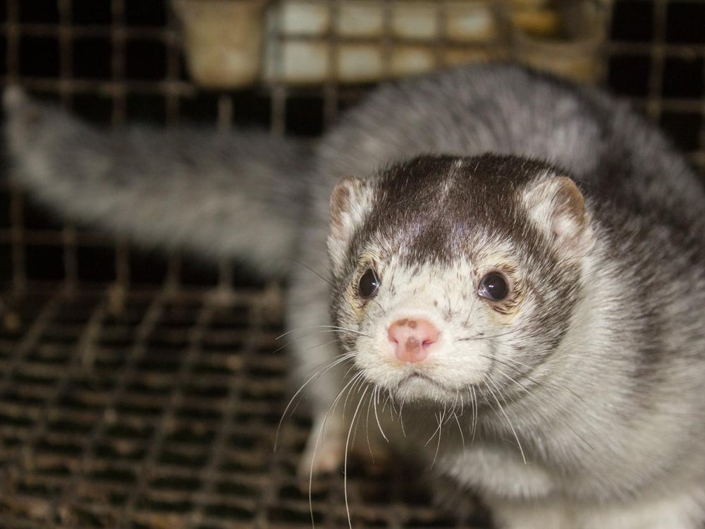 Close-up photo of a mink in a cage. The mink is on the right side of the photo and has white and gray fur; its face looks at the camera. It is in a wire cage.
