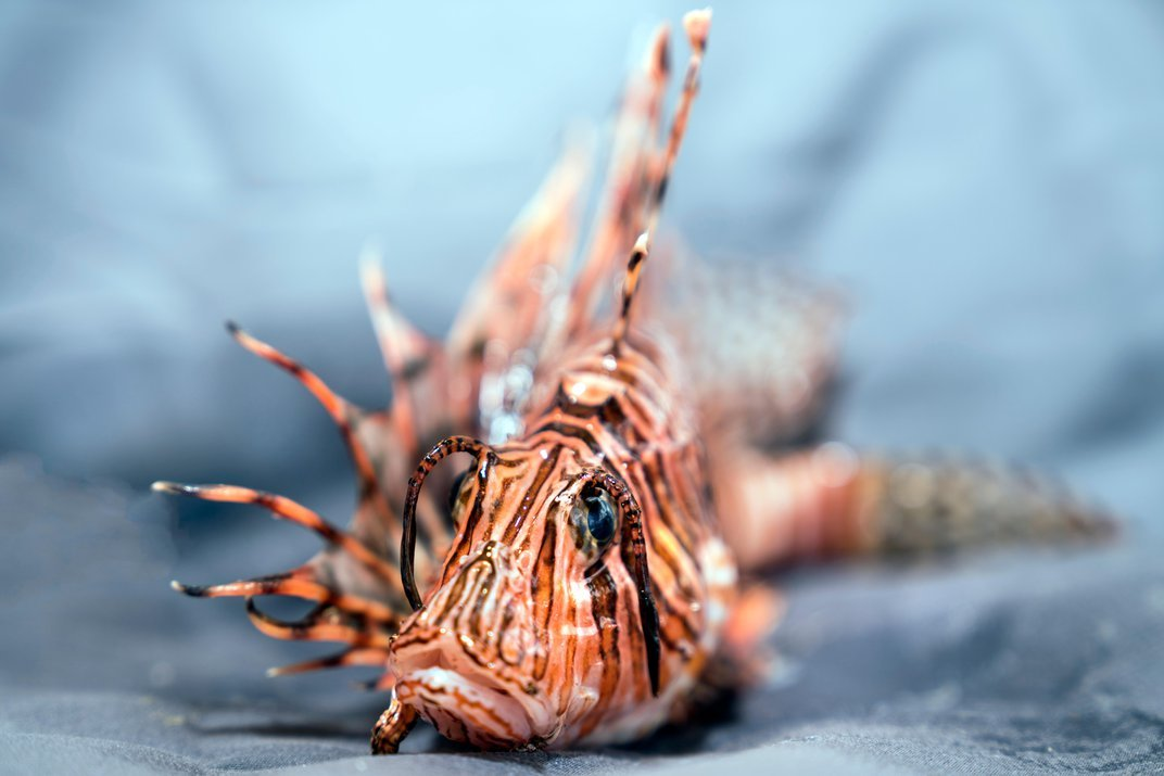 The Lionfish Have Invaded, But a Ragtag Army of Divers and Chefs Are Fighting Back
