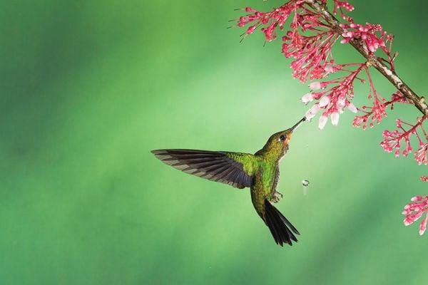 Hovering Green Hermit Hummingbird thumbnail