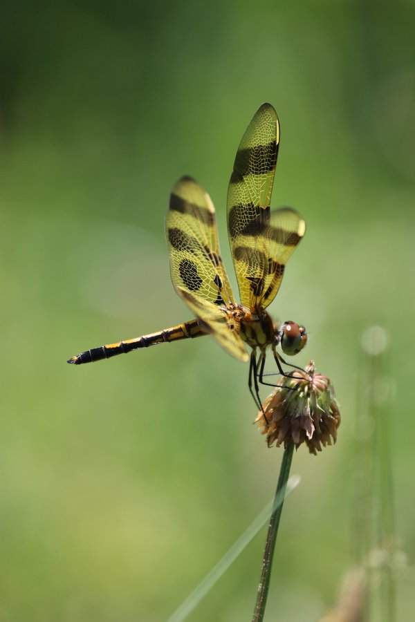 Halloween penant dragonfly resting on a clover flower thumbnail