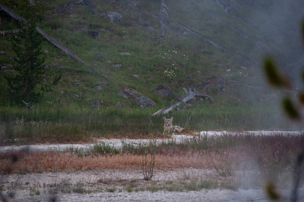 Coyote in geyser steam thumbnail