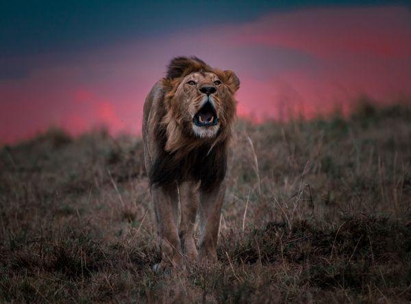 Masai Mara Lion thumbnail