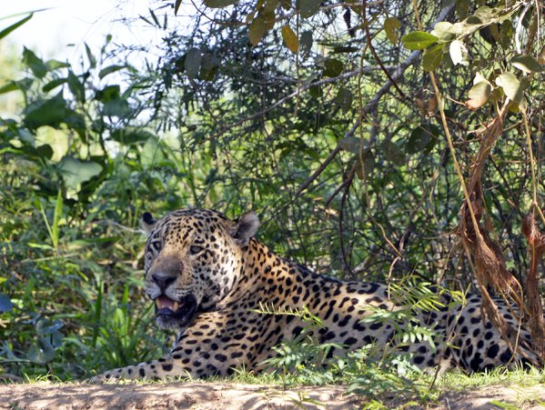 Jaguar in the Pantanal thumbnail