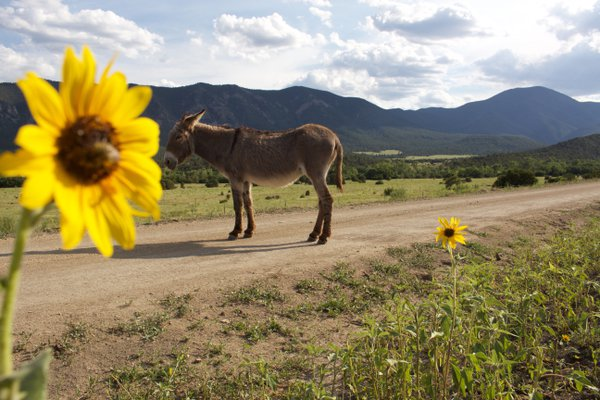 Burro sun bathing at Philmont Scout Ranch thumbnail