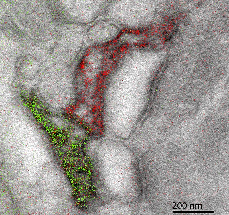 astrocytes-overlay-scale.jpg