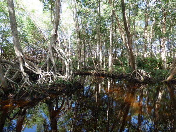 Mangrove serenity thumbnail