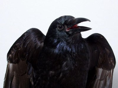 The results of a new study suggest crows are aware of their own sensory perceptions, a hallmark of what's called primary or sensory consciousness.