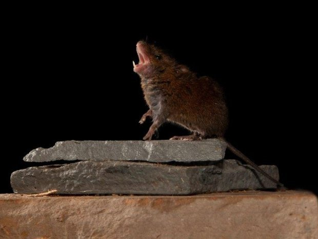 Meet the Singing Mice of Central America