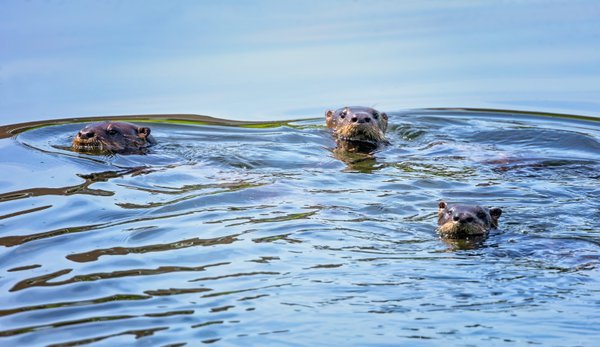 River Otters out for a swim. thumbnail