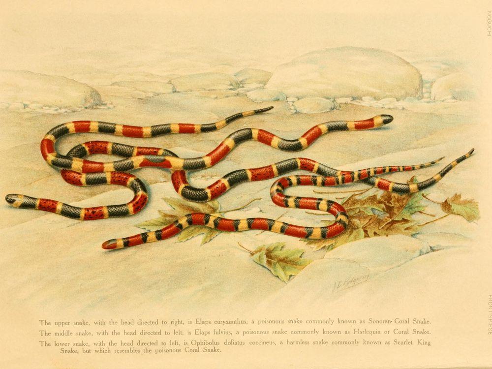 Venomous_and_nonvenomous_coral_snake_coloration_illustration.jpg