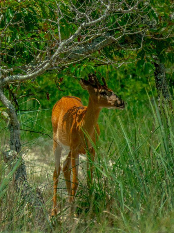 White tailed deer thumbnail