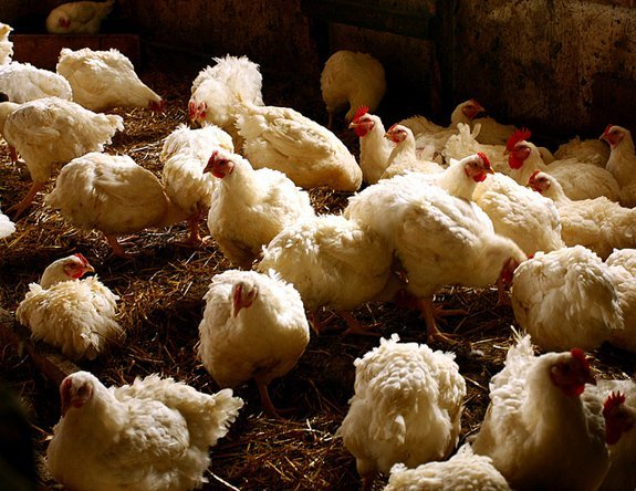2012071210000807_12_2012_antibiotic-chicken.jpg