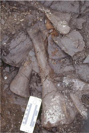 20110520083254juvenile-hadrosaur-bones.jpg