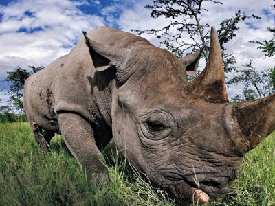 Infamously fierce, rhinoceroses, pictured is a black rhino in Kenya, are victims of rumors that have driven the price of their horn to hundreds of dollars an ounce.