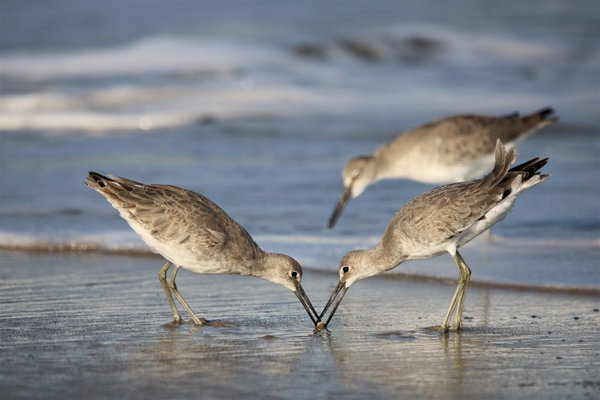 Willet Duel One thumbnail