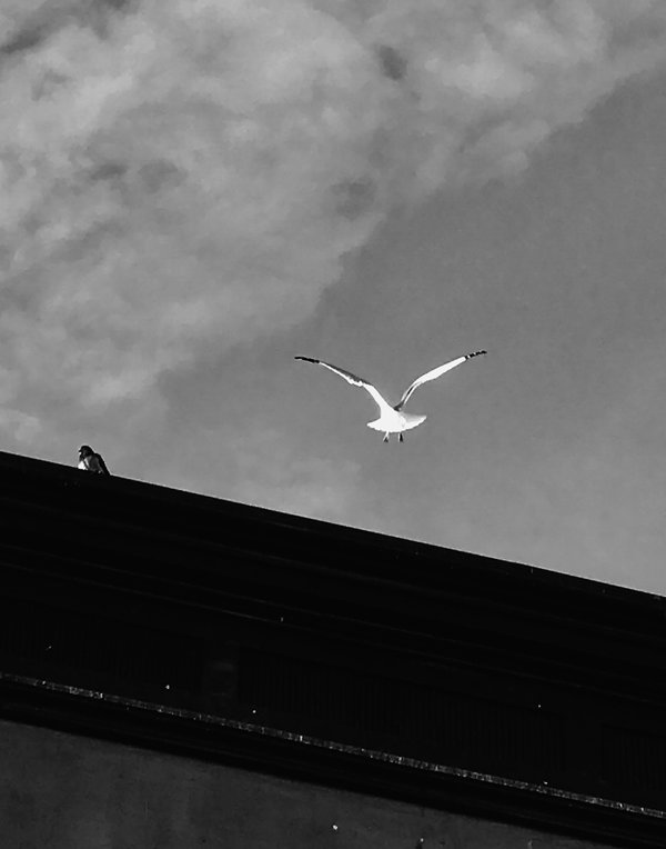 Seagull and pigeon thumbnail