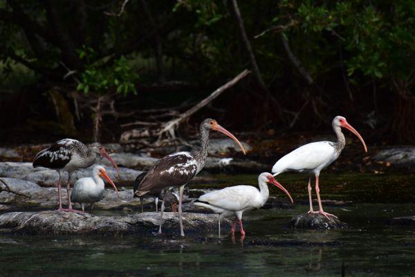 White Ibis Family  thumbnail