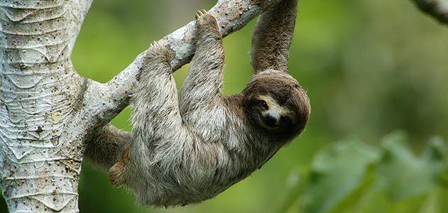 Three toed sloth in Panama