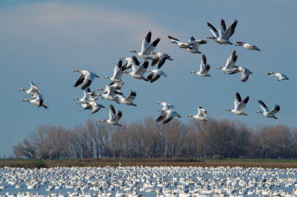 Snow Geese thumbnail