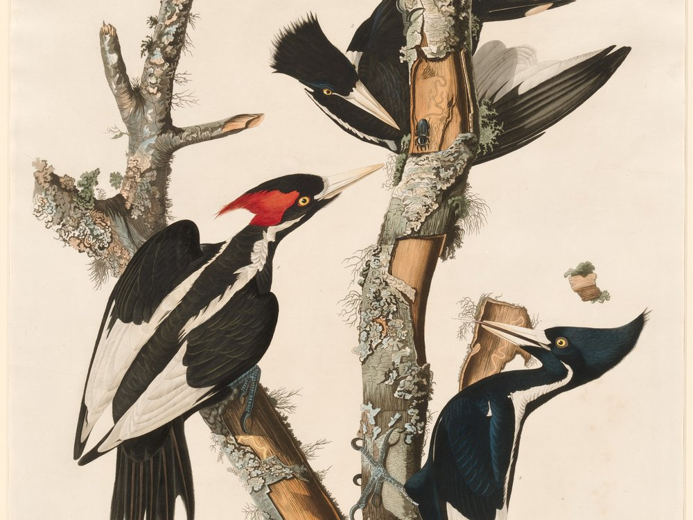 An illustration of three ivory-billed woodpeckers with black wings and red crests on a tree limb