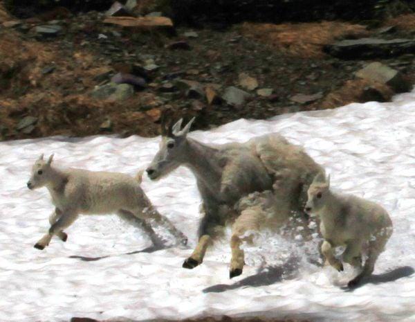 Mountain goat family on the move on Logan Pass Glacier Park MT thumbnail