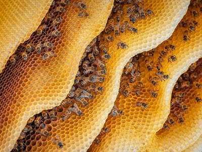 Not just food: Plant chemicals within nectar yield honey that packs a pharmaceutical punch and helps keep bees healthy.