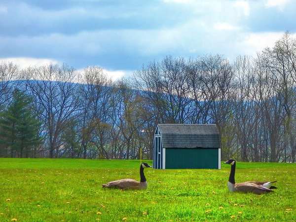 Two geese having a staring contest thumbnail