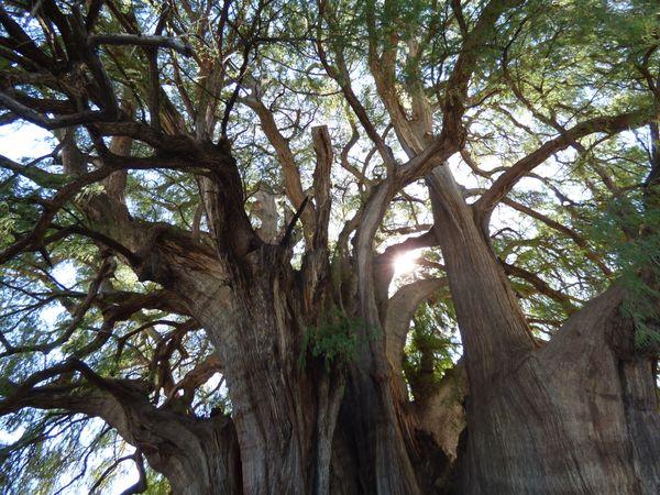 The Tree of Tule thumbnail