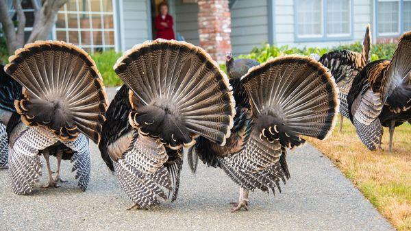 Turkeys Greet my Neighbor thumbnail