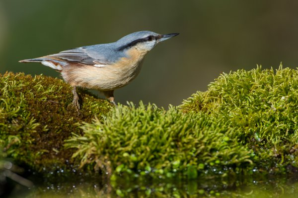 Nuthatch thumbnail