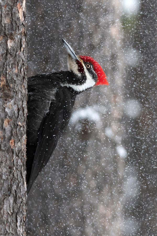 Pileated Woodpecker thumbnail