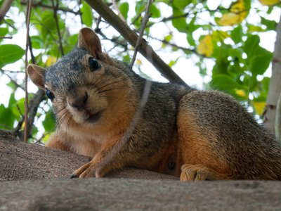 The North American fox squirrel is one of eight species deemed very high-risk threats
