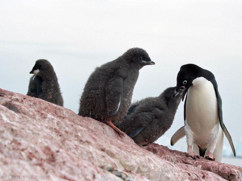 Antarctic,_adelie_penguins_(js)_20.jpg