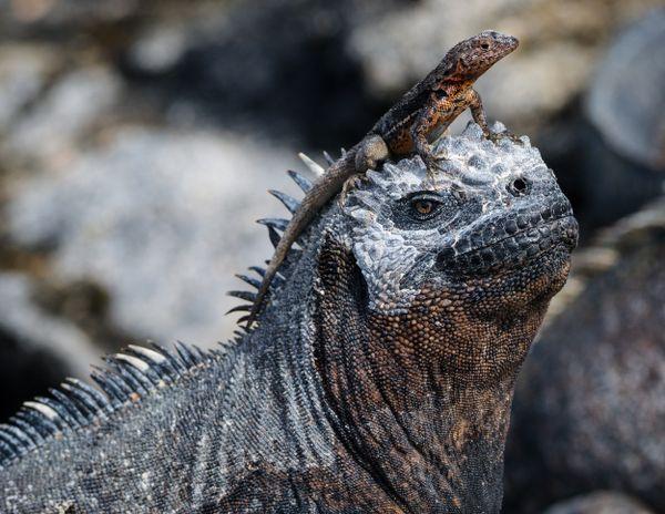 Reptilian Mutualism thumbnail