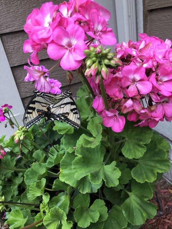 Butterflies thumbnail