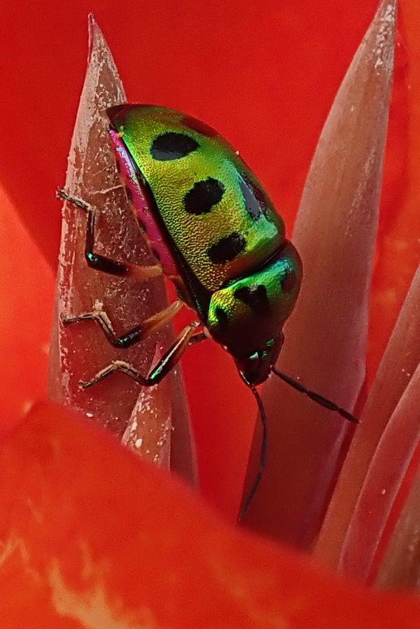 Golden Beetle on Canna leaf thumbnail