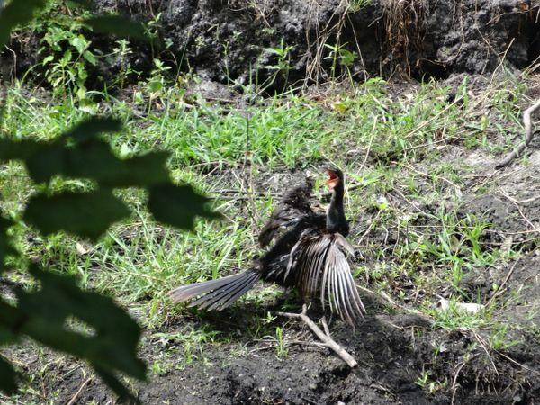 Cormorant sunning thumbnail