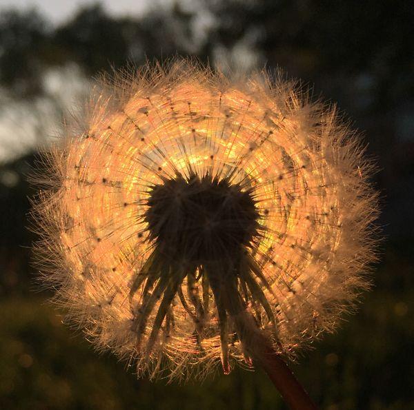 Dandelion sunset thumbnail
