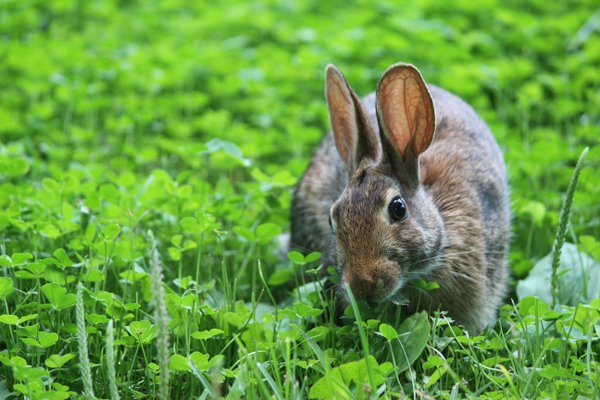 Wild rabbit enjoying clover thumbnail