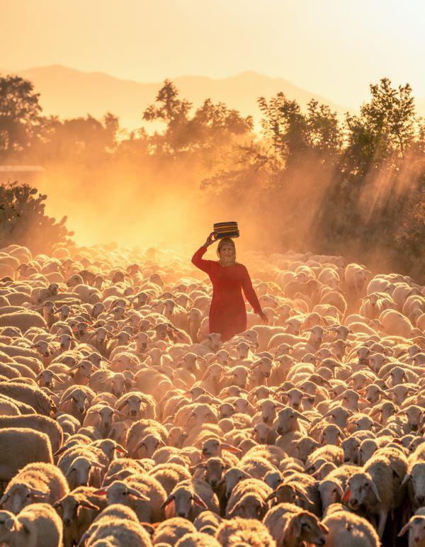 The sheep return thumbnail